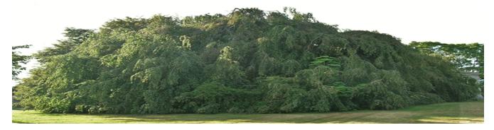 A really big beech tree.