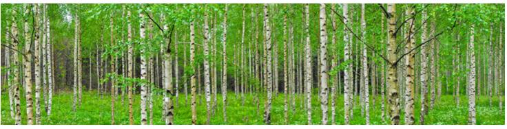 Birch tree forest.