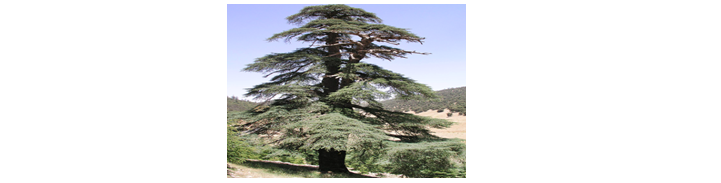 Cedar tree reference image.