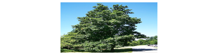 Hickory tree reference image.