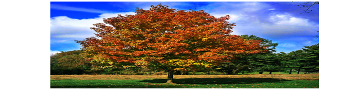 Maple tree reference image.
