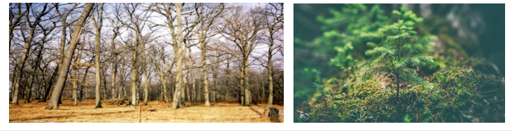 A reference image of an old oak forest and a fir tree sapling.