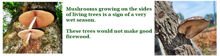 Mushrooms growing on living trees.