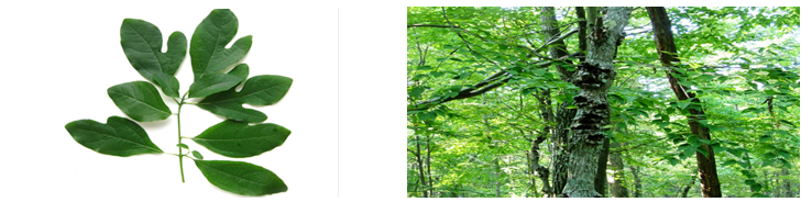 Sassafras Tree reference image.
