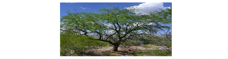 A velvet mesquite tree reference image.