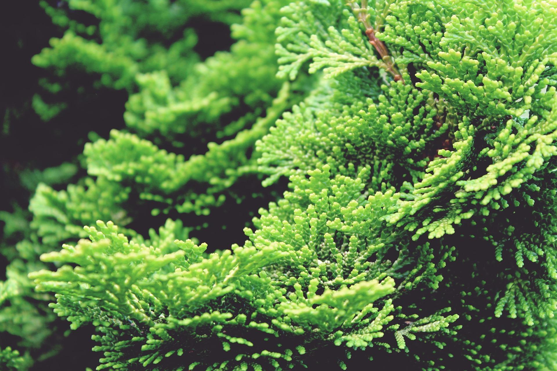 Image of False Cypress