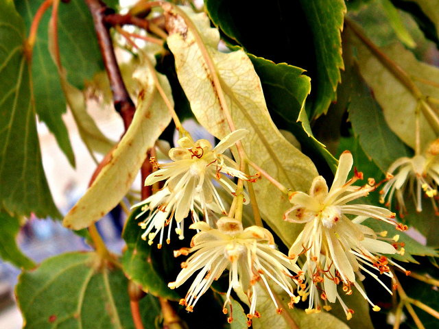 The blossoming flowers of a basswood tree.