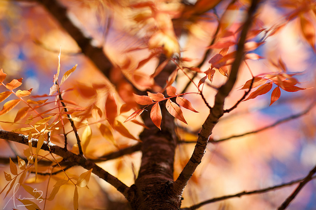 The red leaves of an Elm sapling in the autumn.