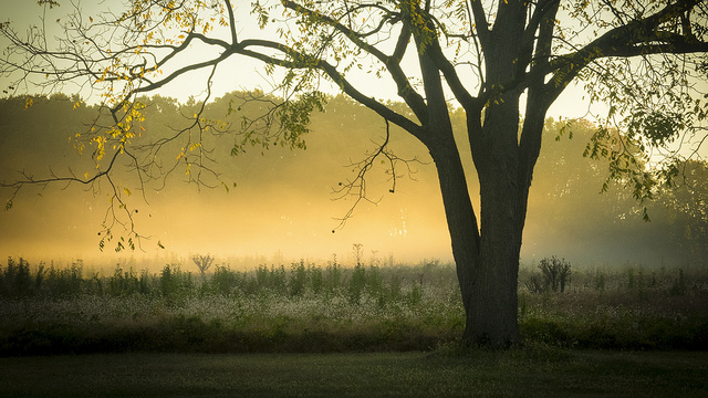Walnut tree in the morning mist at Valley Forge.
