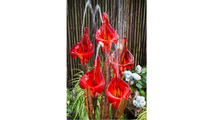 Red Iris Flower - Complete Kit