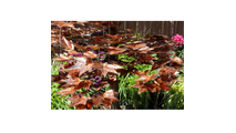 Japanese Maple Tree - Complete Kit
